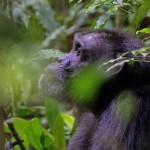 Chimpansee 1