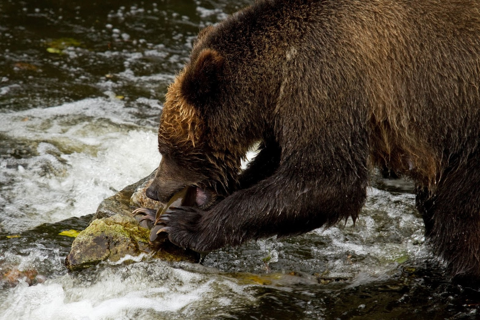 Vancouver Island Grizzlies In September