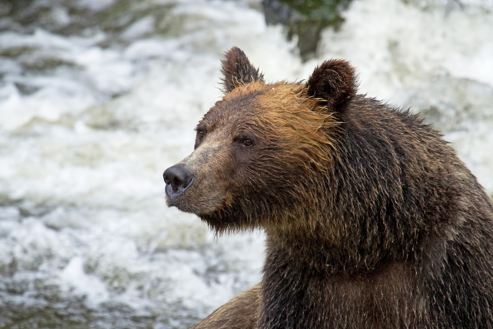 Grizzlies On Vancouver Island
