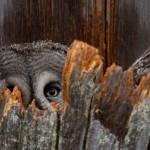 Lapland uil